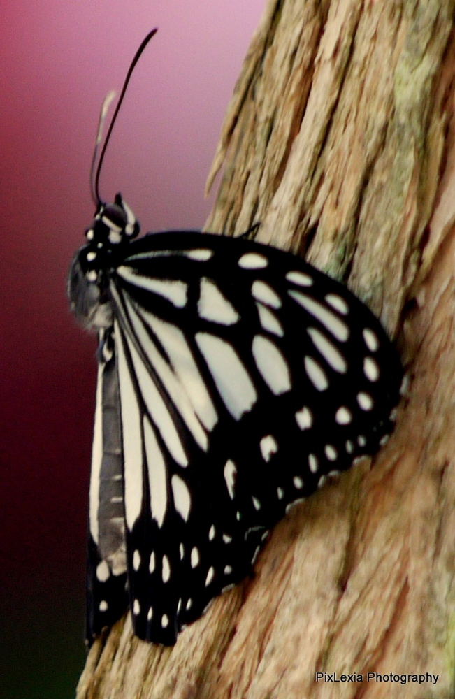 Butterflies (4/6)