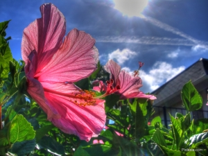 HDR Hibiscus