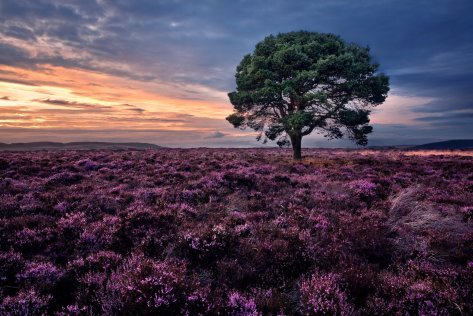 sidlaw-hills-scotland-sidlos-scotland-sunset-heather-tree-pine